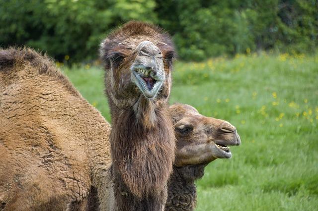 Pistacho: ¿diente de camello?.